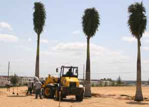 Our Clermont Florida Landscaping crew installing palm trees using a machine